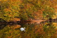 Mute Swan autumn reflections..