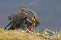 Golden Eagle feeding on mountain hare.