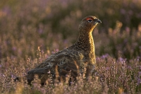 Red Grouse in heather.