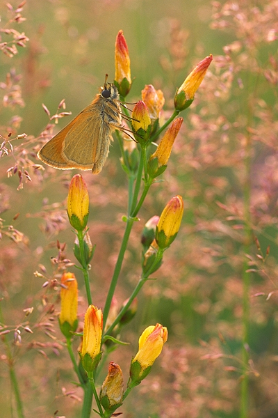 Small Skipper on slender st.john's wort.