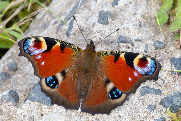 Peacock butterfly on rock. Sep '12.