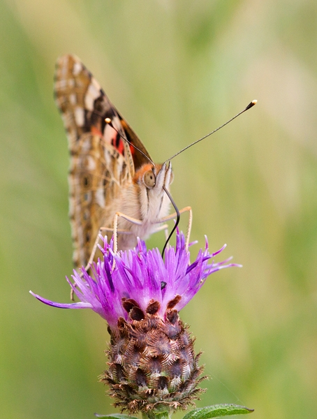 Painted Lady butterfly feeding on thistle 2. Aug '13.