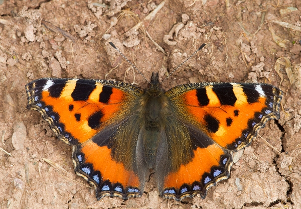 Small Tortoiseshell butterfly. Aug '13.