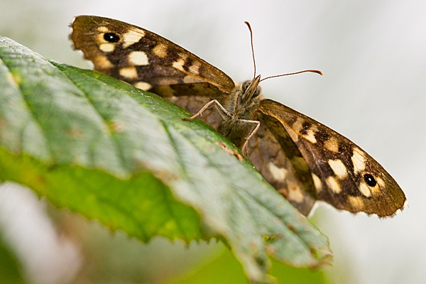 Speckled Wood. Aug. '20.