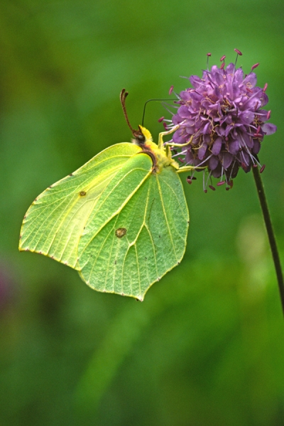 Brimstone feeding on scabious.