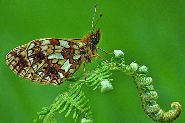 Small Pearl Bordered Fritillary on bracken.