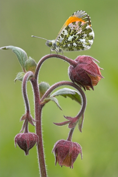 Orange Tip,m on water avens.