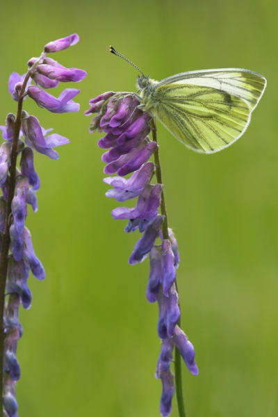 Green Veined White on tufted vetch.