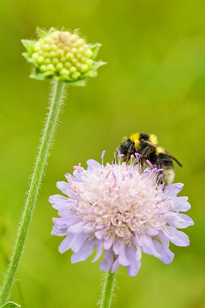 Bumble Bee on scabious. July '19.