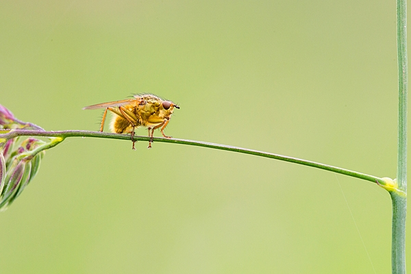 Yellow dung fly. June '20.