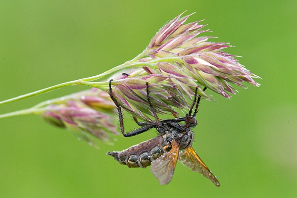 Robber fly. June '20.