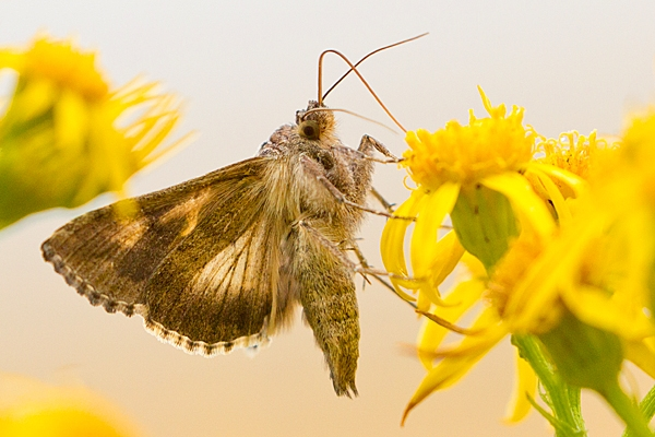 Silver Y moth feeding on ragwort. Aug. '20.