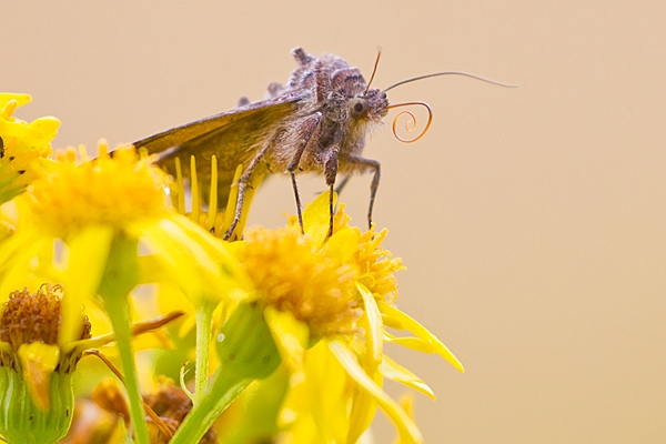 Silver Y moth on ragwort. Aug. '20.