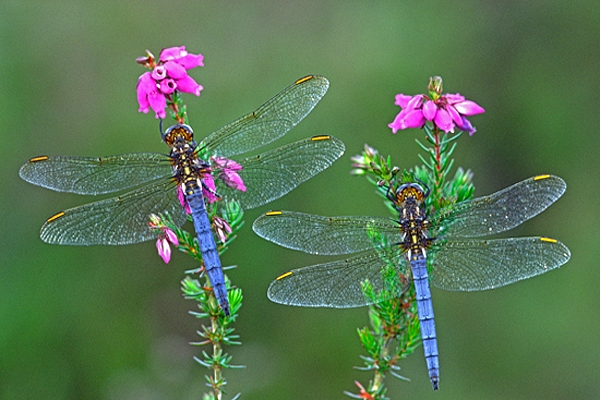 2 male Keeled Skimmers.