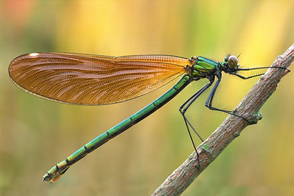 Beautiful Demoiselle,f.