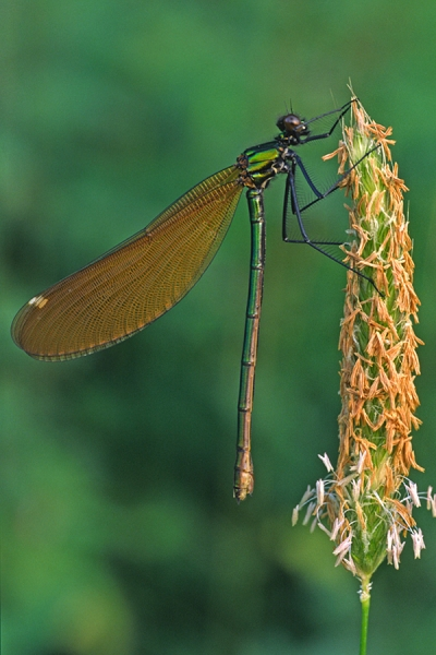 Beautiful Demoiselle f,on grass seed head.