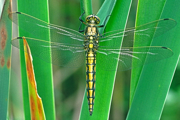 Black Tailed Skimmer,f.