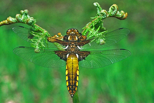 Broad Bodied Chaser,f.
