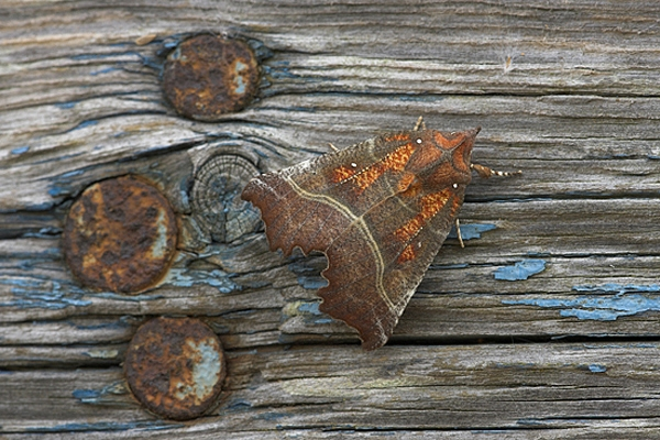 Herald Moth on weathered plank.
