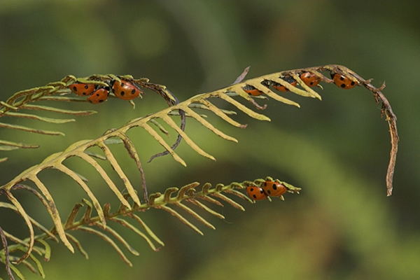 Hibernating Ladybirds on fern.