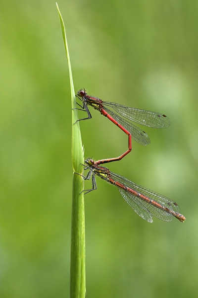 Paired Large Red Damselflies.