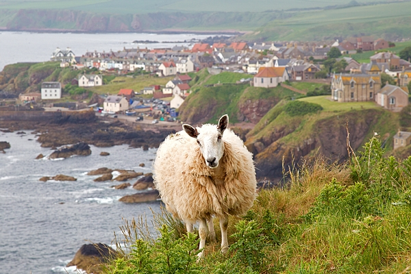 Sheepy St.Abbs. June '18.