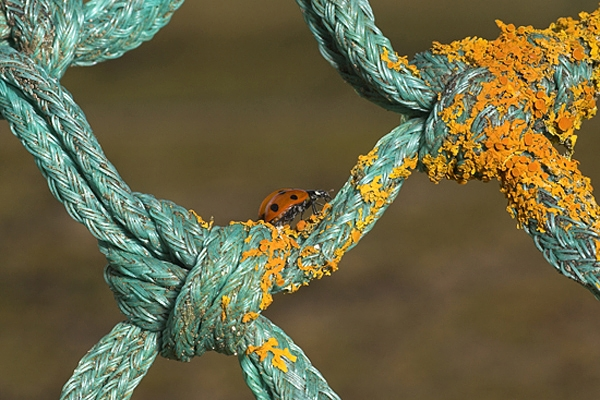 Ladybird on lichen rope.