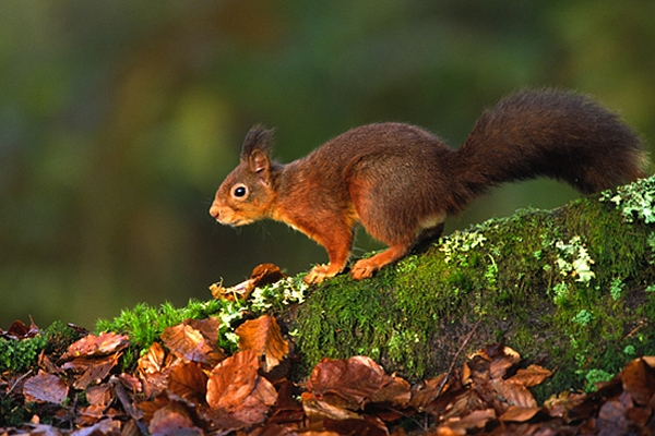 Red Squirrel on beech root
