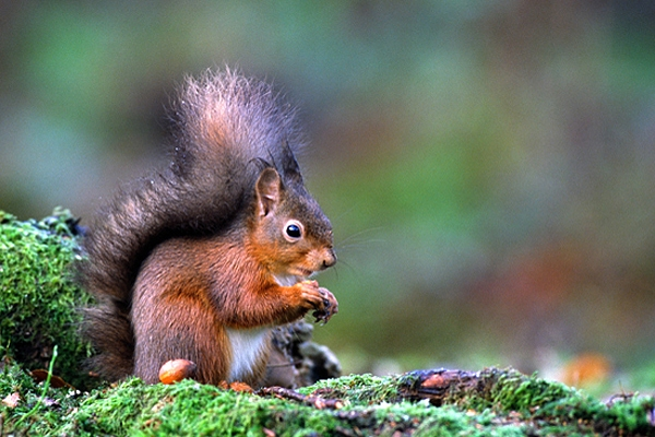 Red Squirrel with hazel nut on mossy ground.
