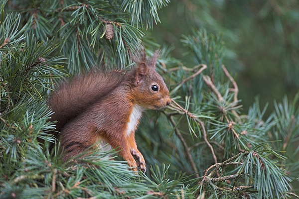 Red Squirrel sat in amongst scots pine needles.