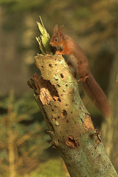 Red Squirrel climbing old spruce stump.