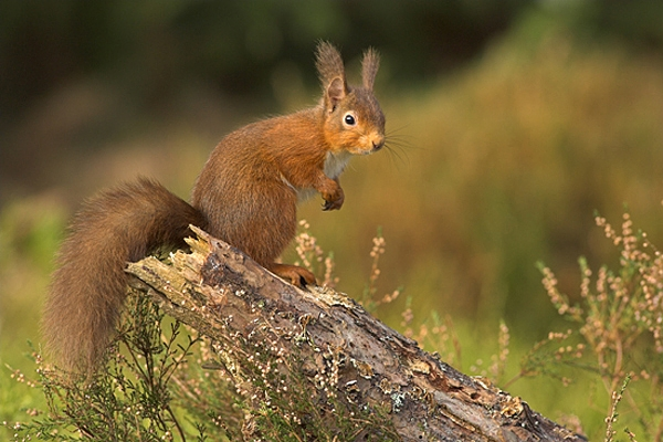 Red Squirrel stood up on pine stump,amongst heather.