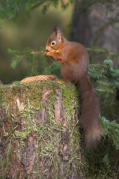 Red Squirrel with spruce cone.