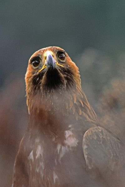 Golden Eagle,facing,in close up through heather.