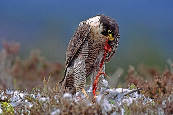 Peregrine,m with pigeon prey.