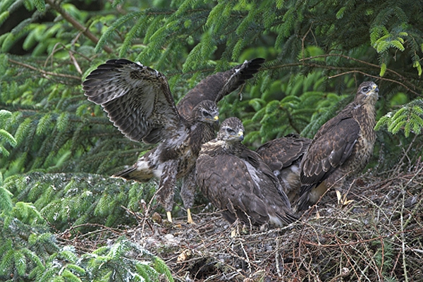 Young Buzzards.