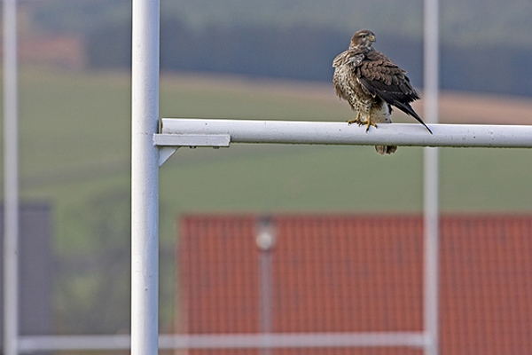 Buzzard at Duns RFC.