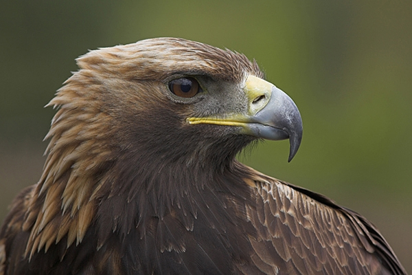 Golden Eagle,close up.