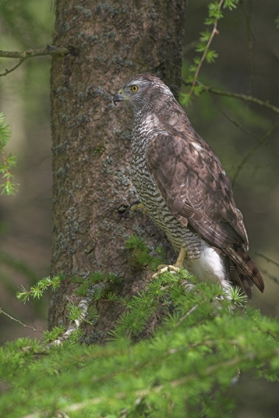 Goshawk on larch tree.