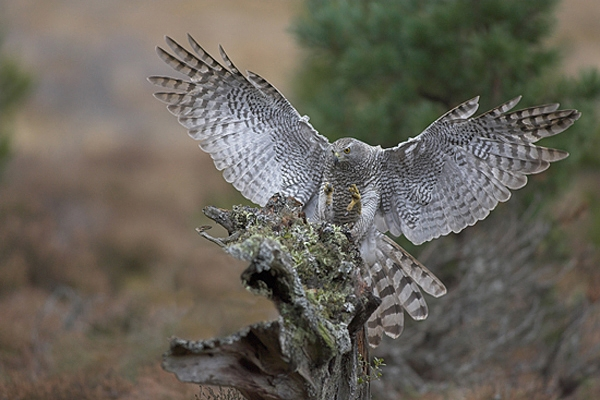 Goshawk landing on a stump.
