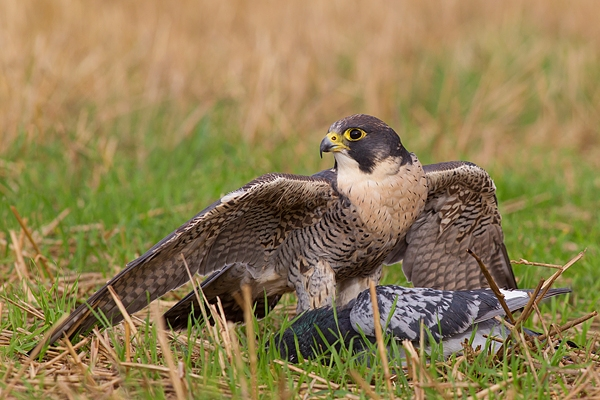 Peregrine with pigeon prey 2. Sept. '16.