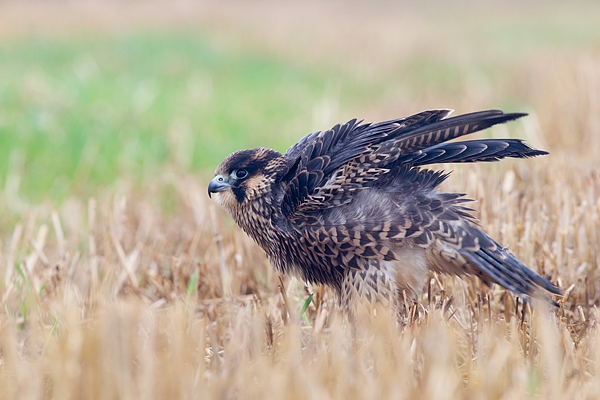 Juvenile Peregrine ruffling feathers. Oct. '17.