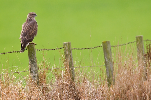 Common Buzzard on post. Oct.'17.
