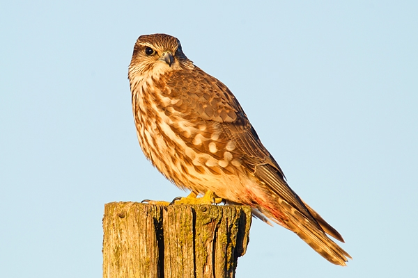 Female Kestrel on post. Jan '19.