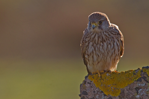 Female Kestrel on lichen post. Jan '19.
