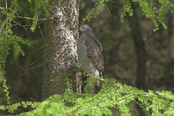 Goshawk in spring larch tree.