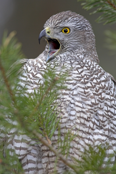 Goshawk,close up.