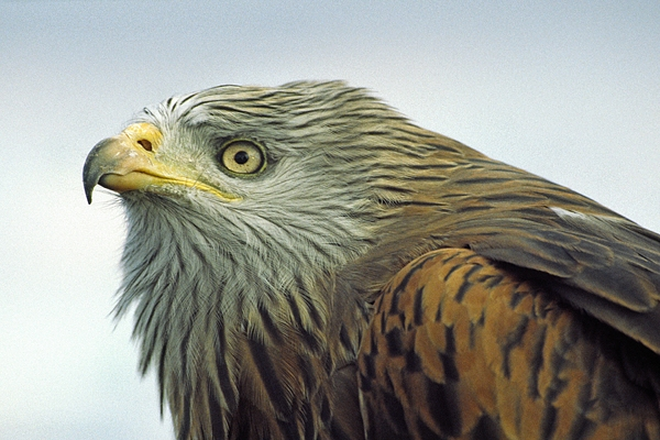 Red Kite,close up.