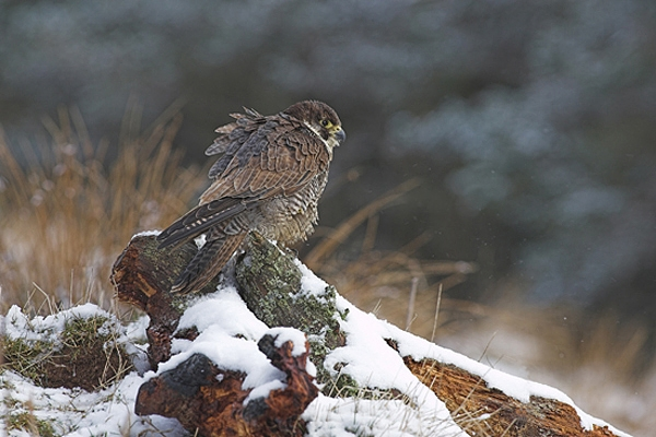 Female Peregrine in the snow.