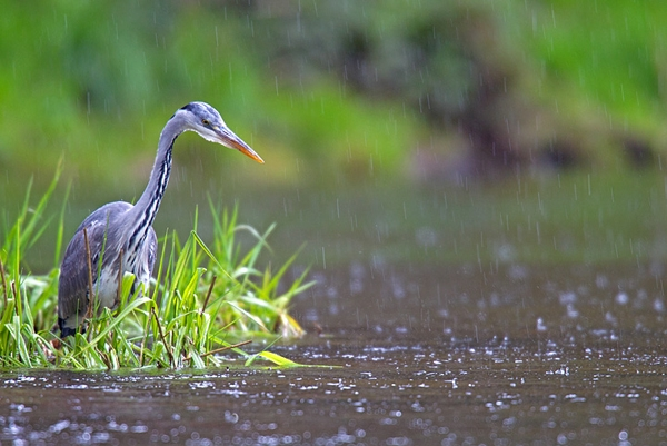 Heron in rain. May '12.